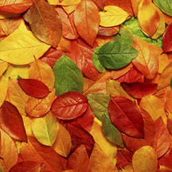 Autumn-Leaves_sq