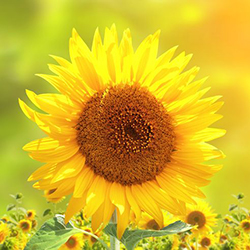Sunflower_sq